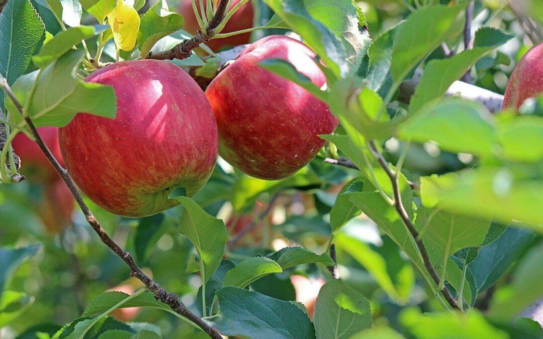 Jak przyciąć drzewka owocowe na wiosnę?